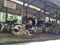 Aktivitas Menarik di Kampung Susu Dinasty